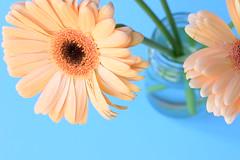 Do what you love (alideniese) Tags: stilllife closeup flowers gerberas colour bokeh bluebackground focus shallowdepthoffield perspective asteraceae africandaisy barbertondaisy plant