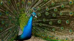 Paon (Léon) (Laurent Quérité) Tags: faune animal paon oiseau gard france canonef100400mmf4556lisusm canoneos7d pontsaintesprit canonfrance