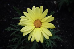 Flower Yellow Petal Fragility Flower Head Freshness Nature Pollen Growth Beauty In Nature Plant Blooming Day Focus On Foreground Close-up Outdoors No People Black-eyed Susan (t-kiriyama) Tags: flower yellow petal fragility flowerhead freshness nature pollen growth beautyinnature plant blooming day focusonforeground closeup outdoors nopeople blackeyedsusan