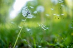 Dandelions (Erinn Shirley) Tags: erinnshirley alexandria virginia dandelion bokeh seeds nature outdoor mountvernontrail