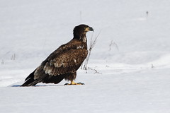 Bald eagle (jlcummins - Washington State) Tags: fauna widlife washingtonstate baldeagle kittitascounty bird snow winter nature natureenthusiasts