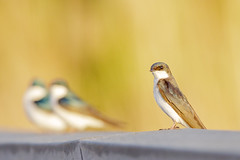 Tree Swallows (wn_j) Tags: birds birding nature naturephotography animals wildlife wildanimals songbirds swallow heinzwildlife heinz heinznwr johnheinz canon canon5d4 wildlifephotography background blur