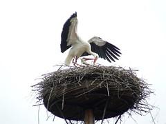 Storch (Wim Ederveen) Tags: ooievaar storch birds vogels