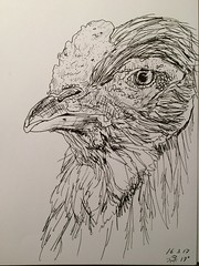 A rooster a day, day 16 (anviss) Tags: tekening illustratie schets haan rooster ink stabilo black