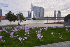 10-3-2017 - Rotterdam - DSC01099 - Erasmus brug (schonenburg2) Tags: erasmus erasmusbrug rotterdam kopvanzuid