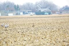 Sandhill Cranes on day 3 Neb in Mar (66) (pamswatercolors) Tags: calls pamelagunn kearney nebraska sandhillcranes march2017 birds photography canon5dmarkiii nature