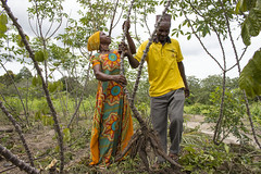 Harvesting cassava in Mkuranga district, Tanzania. Photo H.Holmes/RTB