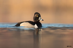Ringneck Duck (Corey Hayes) Tags: duck wild pond first light golden calm nature birds