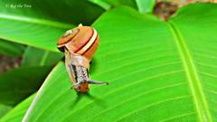 Sailing Surfer Shelled Snail! (Raj the Tora) Tags: snail plant theosophicalsociety theosophical society chennai madras nature wildlife shell
