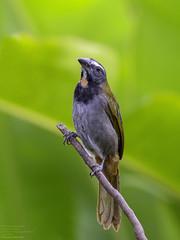 Buff-throated Saltator (Saltator maximus) La Fortuna, Alajuela Province, Costa Rica 2017 (Ricardo Bitran) Tags: saltatormaximus buffthroatedsaltator lafortuna costarica birdsofcostarica