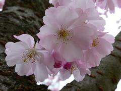 Zierkirsche (four-hearts) Tags: natur baum blüten rosa pflanzen frühjahr frühling frühblüher zierkirsche laubbaum baumstämme makro