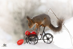fallen egg (Geert Weggen) Tags: red nature animal squirrel rodent mammal cute look closeup stand funny bright sun backlight winter snow eyes hypnosis staring watching contact each up seat picnic easter holiday egg basket bike cycle ride vehicle bicycle drive load christmas bispgården jämtland geert weggen hardeko sweden