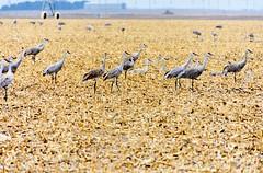 Something Odd Out on the Prairie (Maggggie) Tags: 365 birds nebraska field sandhillcranes farm migration flyway