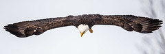 IMG_5885 Bald Eagle (Wallace River) Tags: aboiteau baldeagle bito icefishing wallacebay