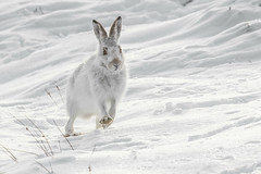 Speedy (beverleythain) Tags: mountain hare scotland highlands cairngorms wildlife nature animal snow seasons camouflage