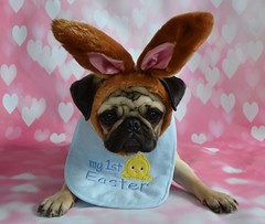 First Easter For Boo Lefou (DaPuglet) Tags: pug pugs dog dogs animal animals pet pets easter bunny rabbit costume ears cute puppy holiday spring coth coth5 alittlebeauty fantasticnature sunrays5 platinumheartaward