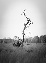 Lonesome tree @ Strabrechtse heide (NL) (Henk Verheyen) Tags: strabrechtseheide autumn bw blackwhite buiten fineart heide herfst landscape landschap nature natuur outdoor zww zwartwit