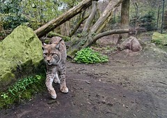 Luchs 1 (Mickas Photografie) Tags: eurasischer luchs nordluchs lynx