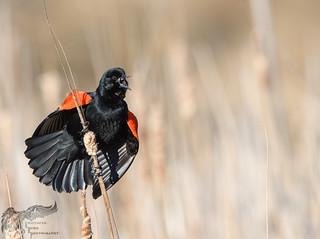 Red WInged Black Bird 3_30