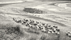 Beach Sheep (scrimmy) Tags: scotland shetland stniniansisle beach blackandwhite monochrome toned sheep nature outdoors