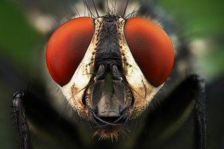 Flesh-fly - Sarcophaga sp. 2008 stack portrait