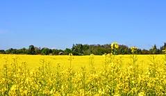 Palette de peintre (Diegojack) Tags: echandens vaud suisse paysages campagnes colza printemps jaune