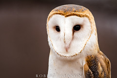 Barn Owl Portrait (ogre1550) Tags: robertjackson spring texas outside closeup photography barnowl owl color nikon20050056 nikond750 wildlife bird wow gorgeous