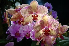 'Sunkiss' (Anne Marie Clarke) Tags: bromeliad neoregaliasunkiss illuminated newyorkbotanicalgarden tropical