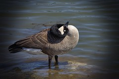 Twisted Neck (swong95765) Tags: goose canadagoose vignette water river twisted neck