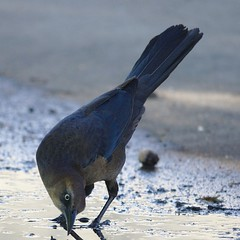 boat_tailed_grackle_female3