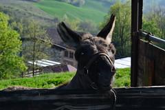 Rosetta (kyry2010) Tags: rosetta asino donkey animal animale agriturismo