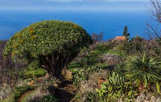 Las Tricias, La Palma: Dracaena draco