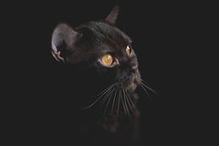 Intense (mirri_inc) Tags: cats britishshorthair catbreed chocolate eyes look stare gaze black dark portrait animal indoor catface face nikon sigma
