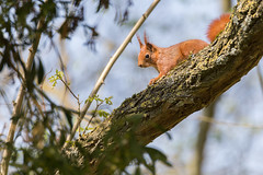 Où sont mes noisettes? - Where are my nuts ? (bboozoo) Tags: animal nature wildlife squirrel écureuil canon6d tamron150600 branch branche arbre tree