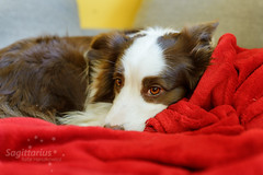 On a red blanket (Sagittarius_photography) Tags: blanket bordercollie dog eyes friend red