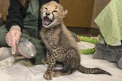 Cheery Cheetah Cub (San Diego Zoo Global) Tags: animals nature cute sandiego zoo safaripark conservation travel cats kittens baby cheetah cubs