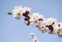 Cherry Blossom (otterman51) Tags: canada grimsby ontario tree blue bluesky escarpment nature niagara outdoors bee cherry blossoms orchard