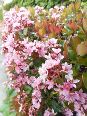 Arctostaphylos sp. Ericaceae-manzanita 3 (SierraSunrise) Tags: arctostaphylos california ericaceae flowers fresno fresnocounty manzanita ornamentals pink plants sanjoaquinvalley shrubs usa
