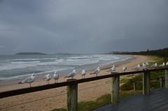 Coffs Harbour, NSW, Australia (phudd23) Tags: coffsharbour coast sea beach gulls nsw newsouthwales australia
