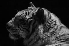 Rocky ♂ - Nachtjäger (Belteshazzar (AKA Harimau Kayu)) Tags: rocky kara tiger zoo animal bigcat bigcats feline bengaltiger pantheratigristigris königstiger indischertiger eltigredebengala tigredubengale latigrerealedelbengala бенгальскийтигр 孟加拉虎 whitetiger weisertiger tigreblanco tigreblancroyal белыйтигр 孟加拉白虎 zooshot tobu tobuzoo snowwhite sunbathing canada playful playfulcat playfultiger playfulwhitetiger bengal iso25600