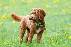 Cute dog: Ready
