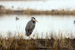 Great Blue Heron 1817 (casch52) Tags: bird nature heron wildlife blue animal great water beak fauna marsh feathers neck ardea wetland greatblueheron wings herodias large colorful pond egret fishing america big grey plumage bill river ardeaherodias wild environment standing yolo refuge