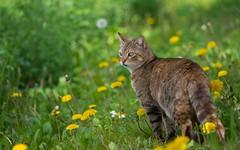 cat (15) (Vlado Ferenčić) Tags: animals animalplanet catsdogs cats spring podravina novovirje nikond600 sigma15028macro vladoferencic vladimirferencic