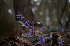 🌼🌼🌼 (Päivi ♪♫) Tags: norway oslo forest blue wildflower spring anemonehepatica sinivuokko blåveis