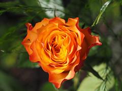 Wiosna Frühling Spring (arjuna_zbycho) Tags: kwiaty blumen flower zachódsłońca sonnenuntergang sunset sunsets sunrises clouds sky himmel atosphericclouds chmury wolken niebo róża rose rosas roses róże rosu rosae kwiat blume makrofoto macrophoto rosarium rosengarten الورد austria badenbeiwien doblhoffpark biosphaerenparkwienerwald lovers gülsevenler gül trandafir trandafiri زهرة