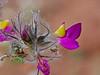 CAD0008904a (jerryoldenettel) Tags: 170411 2017 blackcanyon dalea daleaformosa fabaceae fabales featherplume indigobush n rosids socorroco bush featherdalea featherydalea flower shurb willdflower