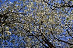 Uncountable (Zsofia Nagy) Tags: ourdailychallenge tree trees cherry blossom flower flowers fleur plant meggy meggyfa virág tavasz spring sky uncountable
