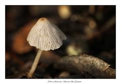 Toadstool. (Petera3015) Tags: mushroom toadstool macro