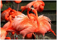 Fiery Flamingos - angry birds (jeannie debs) Tags: fiery flamingos bright colourful fighting bird angry vibrant