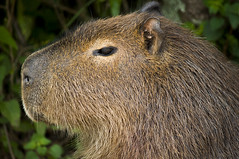 Carpincho - Capivara (martinsascuash) Tags: capivara carpincho parquenacionalelpalmar palmar entrerios parquenacional colon primerplano face mamiferos mammals mammifero